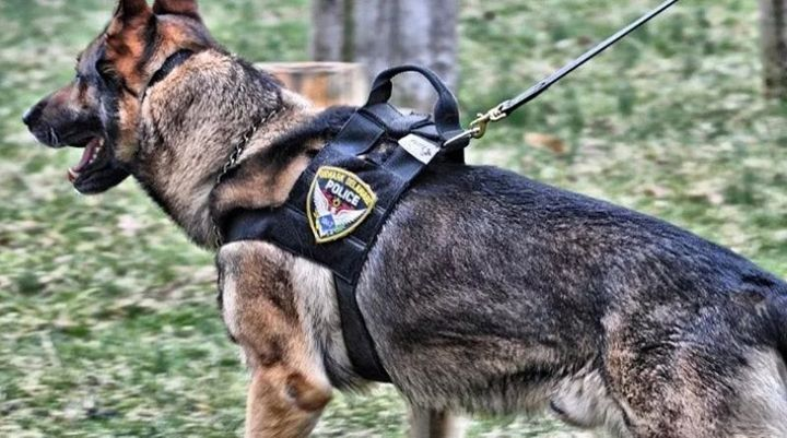 K-9 Sjors patrolled the streets of Newark, NJ for eight years.