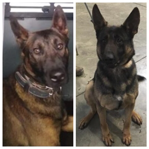 The Colorado Springs (CO) Police Department announced on Facebook on Thursday that the agency has added two new K-9s to its ranks.  - Photo: Colorado Springs (CO) Police Department / Facebook.