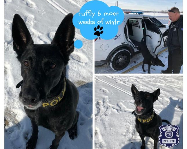 A K-9 officer with the South Bend (IN) Police Department emerged from a patrol vehicle on Saturday, saw her shadow, and predicted six more weeks of winter.  - Image courtesy of theSouth Bend (IN) Police Department / Facebook.