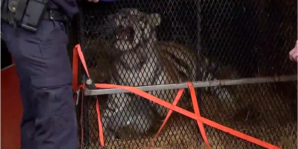 Texas Police Called to Rescue Caged Tiger in Abandoned Building