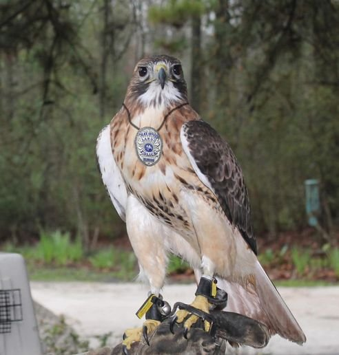 The first day of April brings all manner of pranks, jokes, and hoaxes both on and offline, but the Largo (FL) Police Department pulled off something of a masterpiece when it announced on its Facebook page that it would be looking into using birds of prey as substitutes for small police drones.