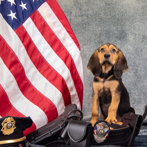 The Bradenton (FL) Police Department recently introduced their newest member of the ranks, a nine-week-old bloodhound puppy set to begin training in search and rescue operations.  - Image courtesy ofBradenton PD / Facebook.