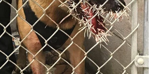 K-9 Odin suffered serious injury when it was struck by hundreds of porcupine quills during a...