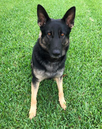 The Jupiter (FL) Police Department announced on Tuesday that K-9 Corby will receive a bullet and stab protective vest thanks to a charitable donation from non-profit organization Vested Interest in K-9s.  - Image courtesy of Jupiter PD / Facebook.