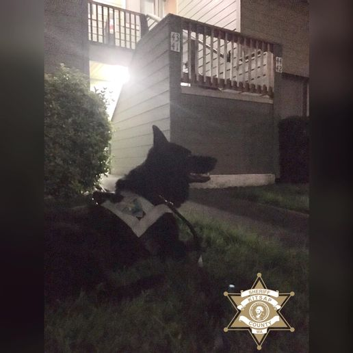 """The Kitsap County Sheriff's Officesaid on Facebook, """"K-9 Heiko loves to play 'Hide-n-Seek!' Early this morning at 2:00 am, a 33-year-old joined in with K-9 Heiko, when he ran from officers in East Bremerton. This subject had arrest warrants for 2nd Degree DV Assault, Burglary (DV) & was also wanted for Violation of a No Contact Order.""""  - Image courtesy of Kitsap County Sheriff's Office /Facebook"""