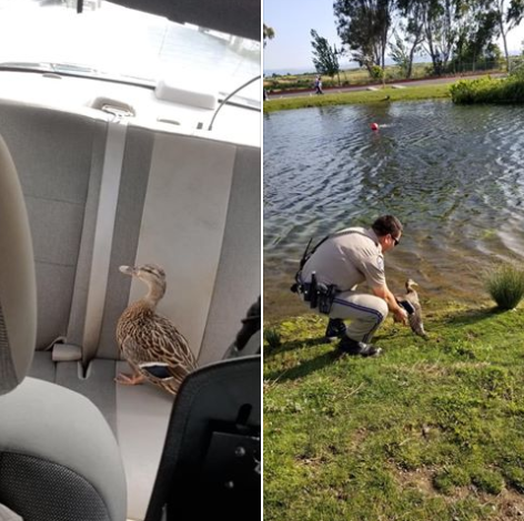 An officer with the California Highway Patrol on Friday rescued a duck that had wandered onto a freeway and was in danger of being struck by passing traffic.  - Image courteys ofCastro Valley CHP / Facebook.