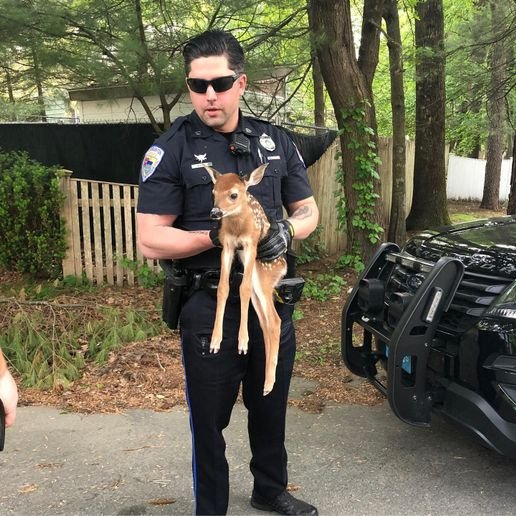 An officer with the Stoughton (MA) Police Department rescued a baby deer from being entangled in branches of a brush on Sunday.