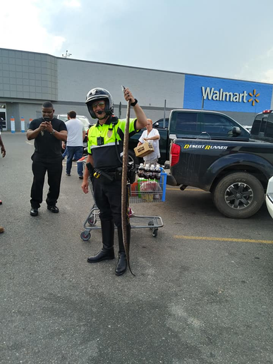 An officer with the Marshall (TX) Police Department responded to a call of a large snake slithering around in the parking lot of a local Walmart store and quickly apprehended the large reptile.  - Image courtesy of Marshall PD / Facebook.
