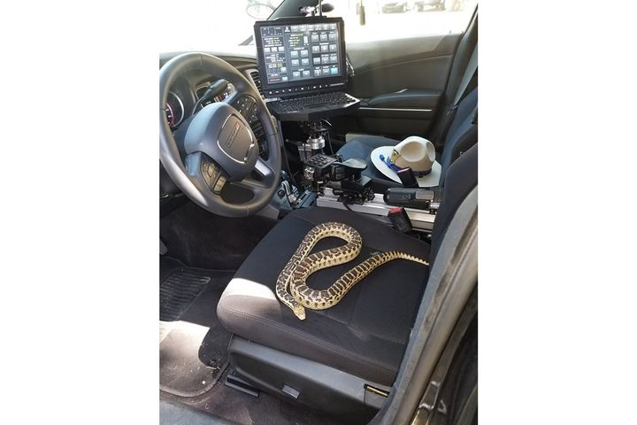 The California Highway Patrol—Fort Tejon-Grapvine Station—posted on social media an image of a Gopher Snake taking up residence in the driver's seat of a trooper's patrol vehicle.