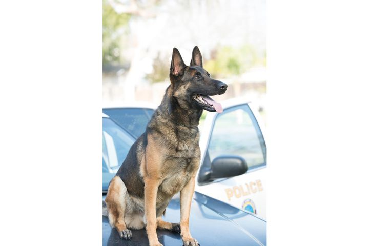 K-9 Ozzie's handler was off duty when he found the dog in deceased in a department issued patrol vehicle, which is equipped with an alert system that signals to the handler when the interior temperature gets too hot. It is suspected that the alert system failed to activate.  - Image courtesy ofLong Beach Police Department.