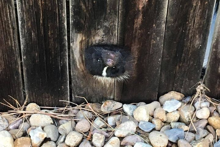 A community services officer with the Firestone Police Department was able to free a baby skunk trapped in a hole in a wooden fence without being sprayed by the little animal in distress, and the agency had some fun with the incident on social media.