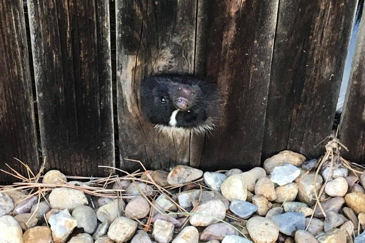 Colorado Officer Rescues Skunk, Avoids Getting Sprayed