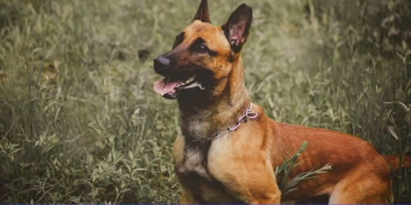 Bulder, a 5-year-old Belgian Malinois, was shot to death while executing a search warrant.