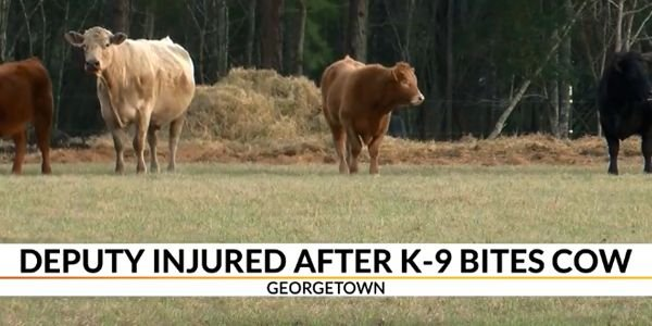 South Carolina Deputy Deploys TASER on K-9, Gets Kicked by Cow