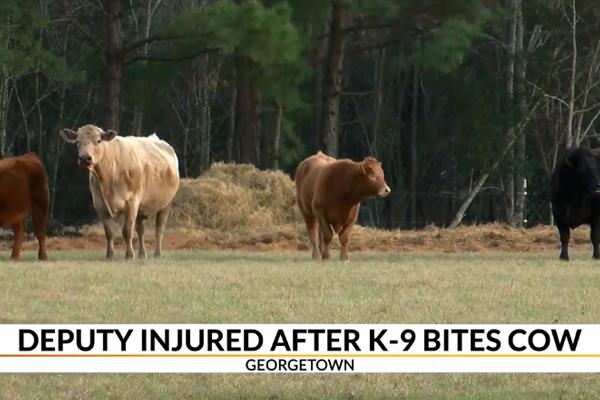 South Carolina Deputy Deploys TASER on K-9, Gets Kicked by Cow