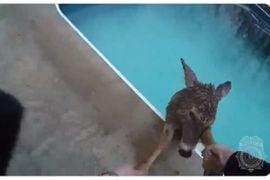 Kentucky Officer Rescues Wayward Deer from Pool