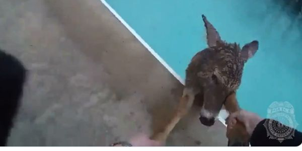 Kentucky Officer Rescues Wayward Deer from Pool