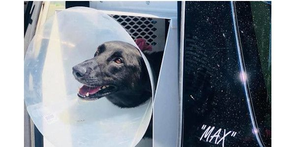 K-9 Max is seen here in August shortly after he was shot twice during a foot pursuit.