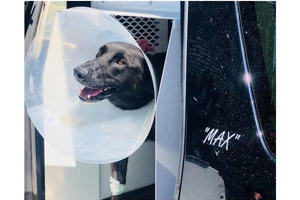 K-9 Max is seen here in August shortly after he was shot twice during a foot pursuit. - Photo: Lubbock (TX) Police Department/Facebook