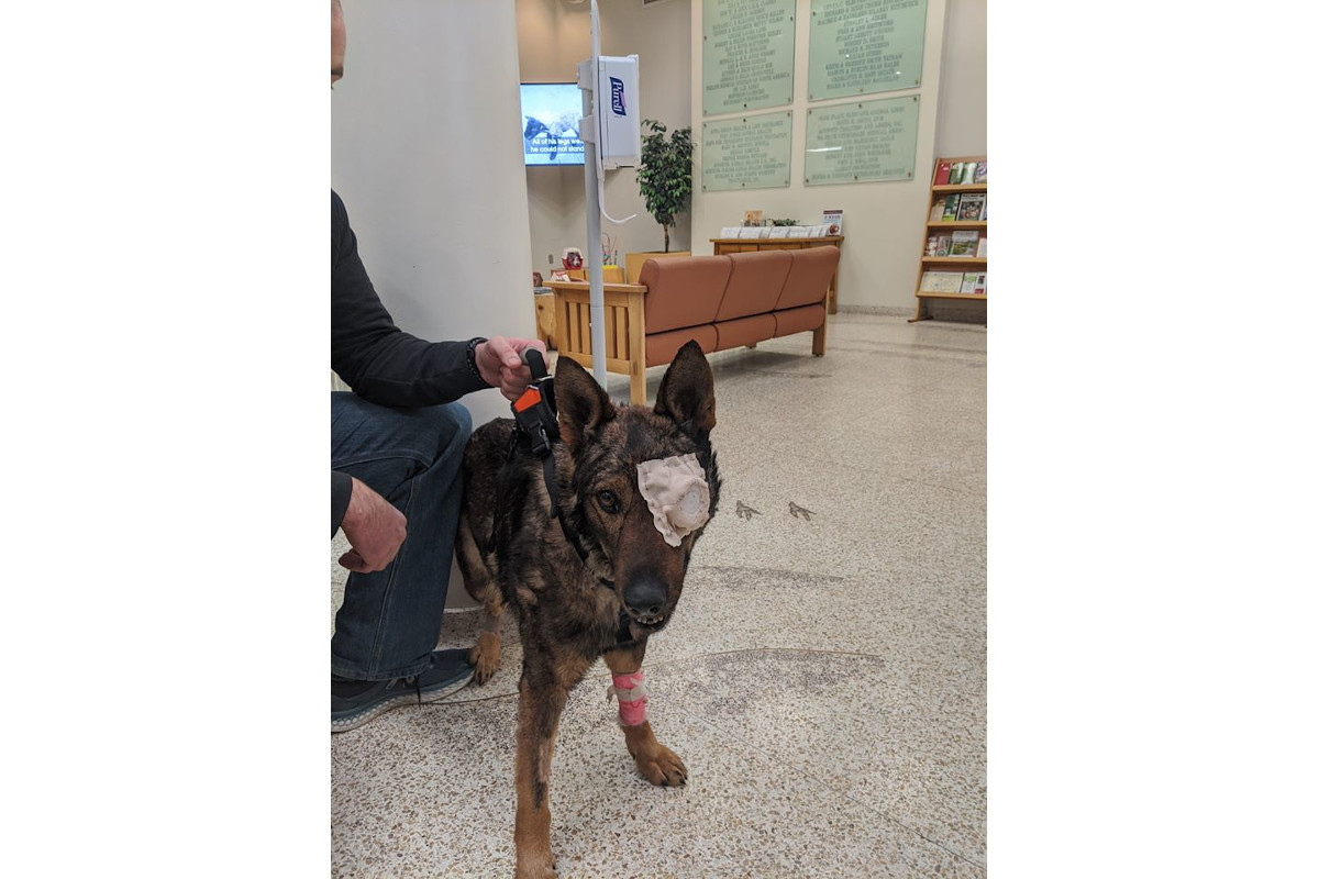 Washington K-9 Wounded in Shooting to Lose Eye and Probably be Retired