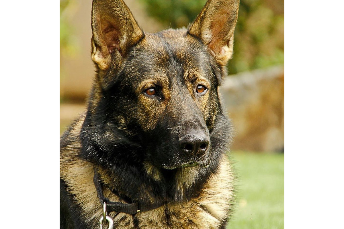 Retired California K-9 Dies Peacefully at Home