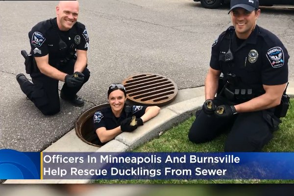 Minnesota Officers Rescue Ducklings from Storm Drains
