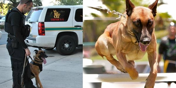 K-9 Justice on duty with the St. Petersburg Police Department. The dog died this week....