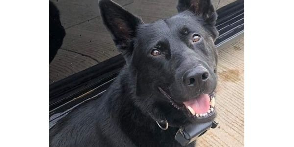 K-9 Deebow of the Saginaw (MI) Police Department recovered from previous injury, will no longer...