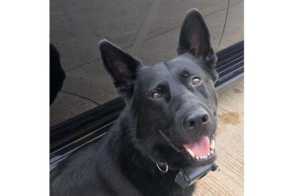 K-9 Deebow of the Saginaw (MI) Police Department recovered from previous injury, will no longer be used to apprehend suspects. - Image courtesy of the Saginaw Police Department / Facebook.