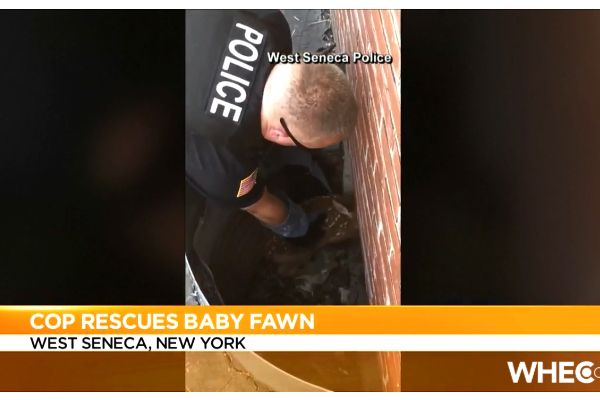 An Officer with the West Seneca (NY) Police Department was caught on video as he pulled a baby deer to safety after it has become trapped in a window well over Independence Day weekend. - Screen grab of news report.