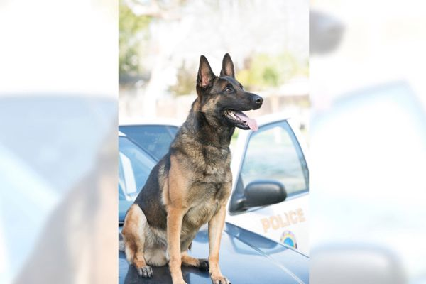 K-9 Ozzy—a drug-detection dog—was found dead in the patrol vehicle by his handler in August 2019. - Image courtesy of the Long Beach Police Department.