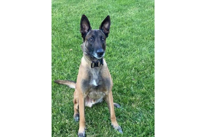Phoenix Police K-9 Dennis was shot Thursday morning searching for a suspect. He is expected to recover. (Photo: Phoenix PD) -
