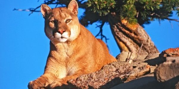 CA Deputy Kills Mountain Lion Stalking Trail Walkers