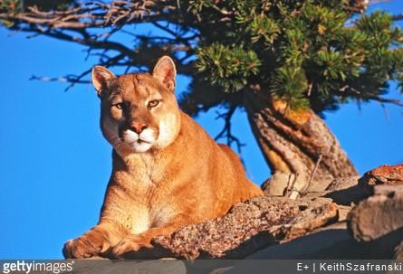 CA Deputy Kills Mountain Lion Stalking Trail Walkers