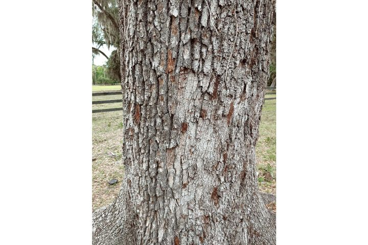 Bullet marks scar a tree aVolusia County Sheriff's deputy used for cover while taking fire from two children earlier this week. (Photo: Volusia County SO) -