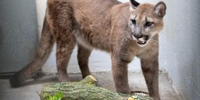 NYPD and Animal Groups Remove 80-Pound Cougar from Apartment