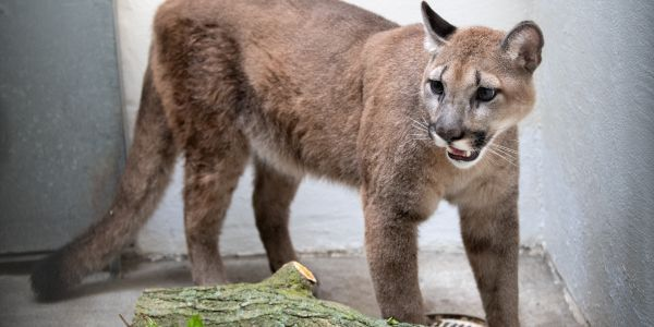 The confiscated cougar at the Bronx Zoo. (Photo:Julie Larsen Maher/Bronx Zoo)