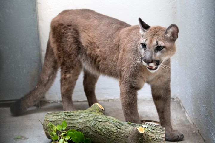 The confiscated cougar at the Bronx Zoo. (Photo:Julie Larsen Maher/Bronx Zoo) -