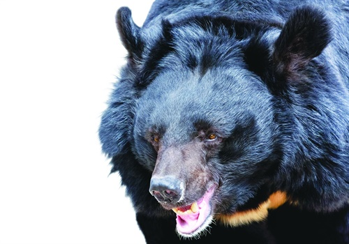 Bears are not a common reason for police calls, but it's a good idea to have a plan for them in bear habitat areas. (Photo: Getty Images)