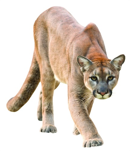 Cougars can be the reason for emergency calls in the West. (Photo: Getty Images)