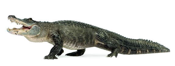 Gators are common in Southern wetlands, especially in Florida and Louisiana. (Photo: Getty Images)