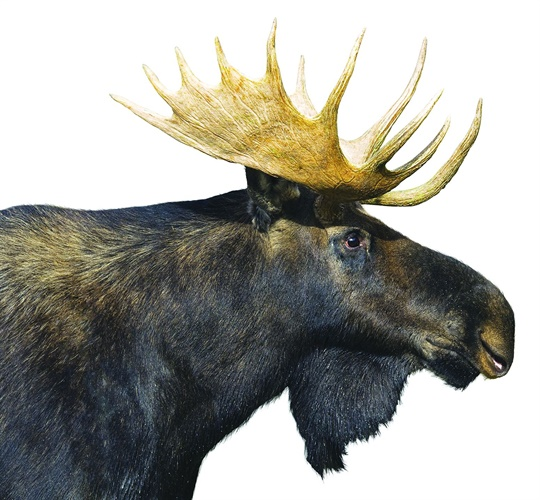 Moose can be very dangerous, especially in traffic situations. (Photo: Getty Images)