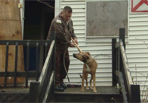 Planned law enforcement operation that involve locations guarded by dogs must include non-lethal means for neutralizing the dogs such as fire extinguishers and catch poles. Here, a Chicago animal control officer demonstrates use of a catch pole on a friendly animal.(Photo: National Canine Research Council)