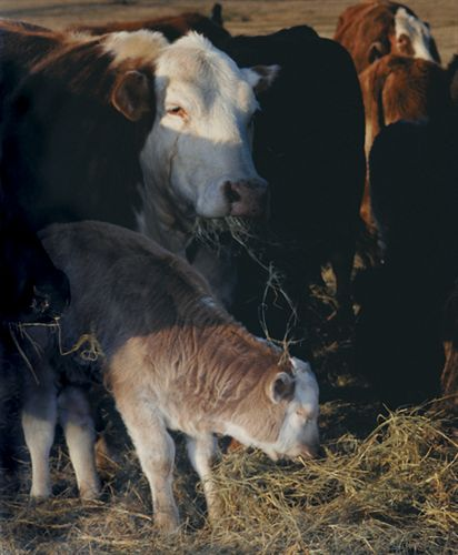 The Cattle Cops