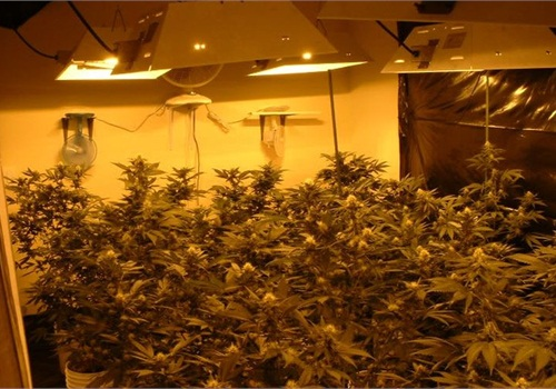 Marijuana grow photo courtesy of DEA.