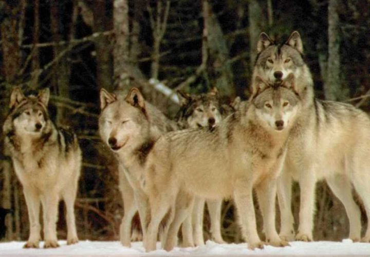 The Wolf Pack Mentality