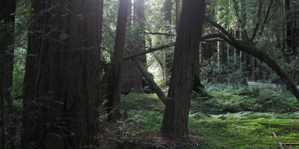 A view into a redwood forest in Mendocino County. Photo: kylewm.