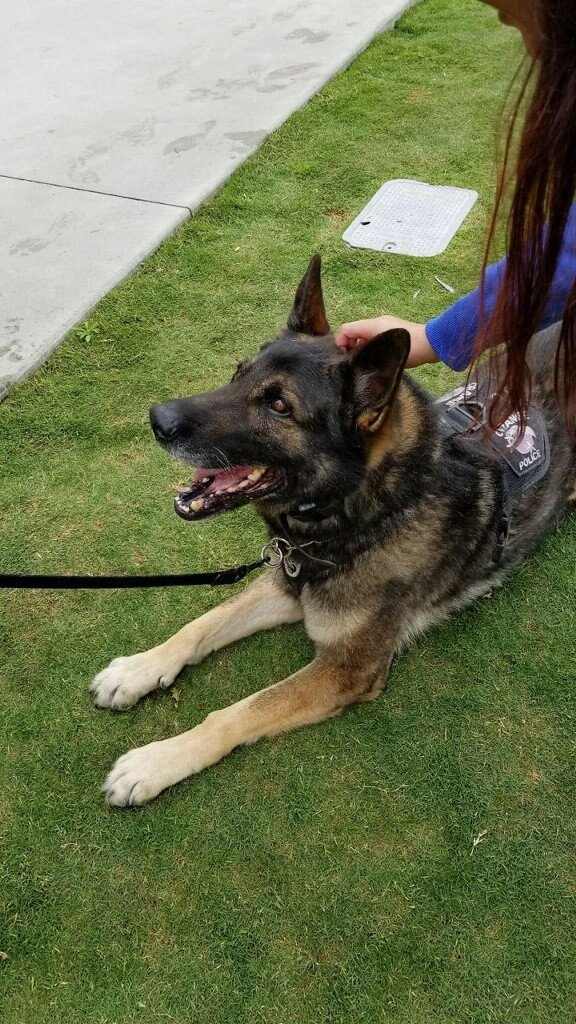 Veteran California K-9 Euthanized After Discovery of Medical Condition