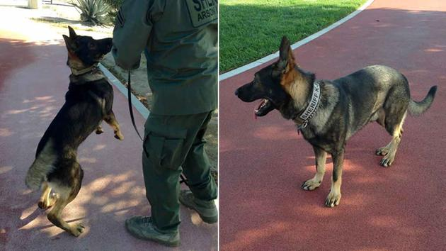 California K-9 Dies During Exercise, Handler Loses Finger Trying to Save Him