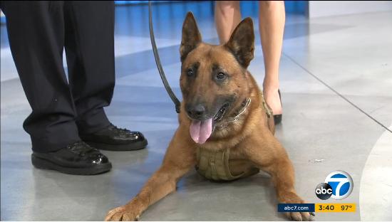 Video: LAPD K-9 Edo Nominated for 2016 American Hero Dog Award